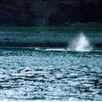 岸辺近くに魚を追い詰めて食餌しているのか_水面で口を開けて突進している1頭_再アタック